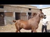 Ахалтекинская порода лошадей.